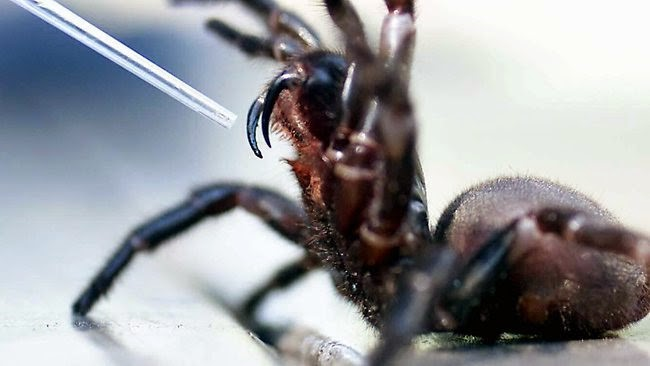 ARLD-spider-showing-venom